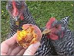 Pet Chickens eating a peach